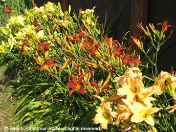 daylilies-copyr.jpg