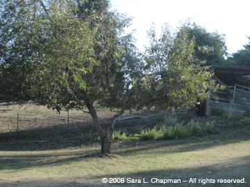 0889pasturetree.jpg