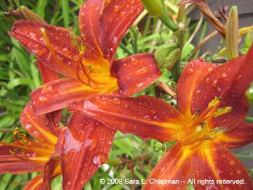 daylilyc.jpg