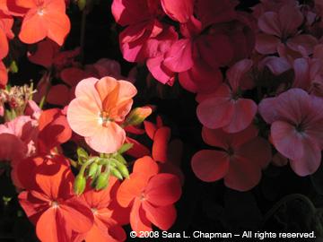 geraniumshadow.jpg
