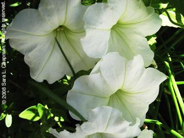 whitepetuniasc.jpg