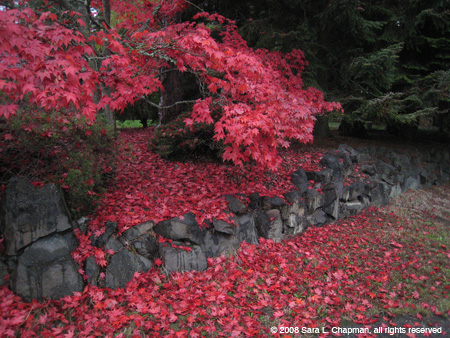 red-maple2177.jpg