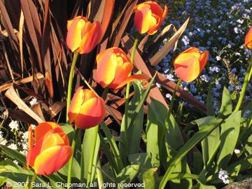 tulips2514.jpg