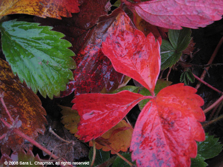 strawberryleaves3556.jpg
