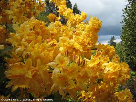 yellowazaleas3112.jpg