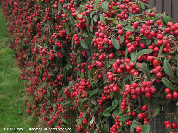 Landscaping Shrubs With Red Berries : Ruby tuesday berries sara s fave photo