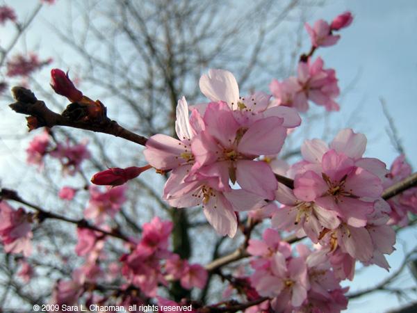 cherryblossomsl4554.jpg