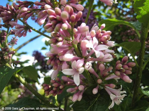 lilacs2953.jpg