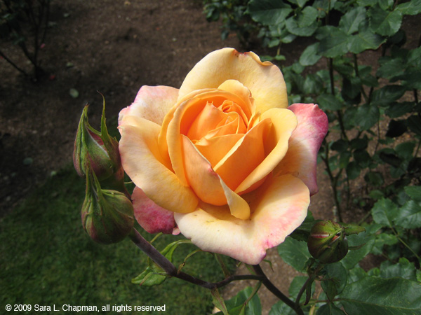 rosebuds4032.jpg