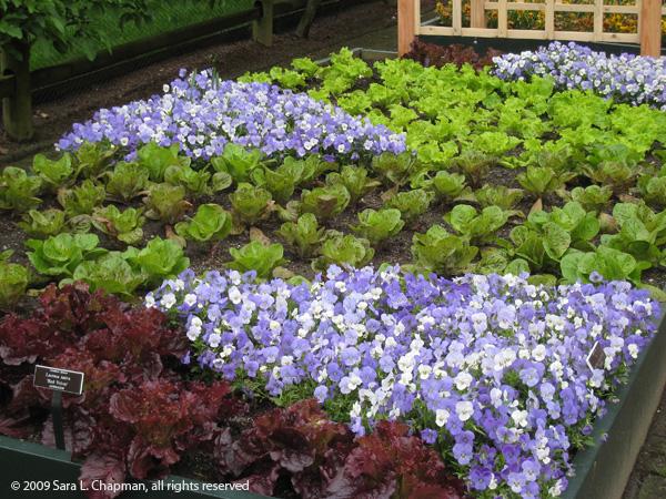 lettuce6641