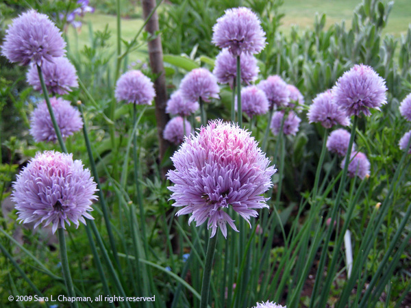 chives0833