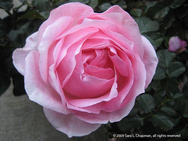 rosepink0848