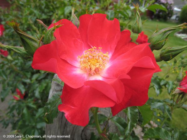 rosered0968