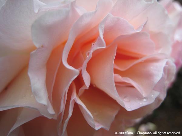 rosepinkdaustinsm1023