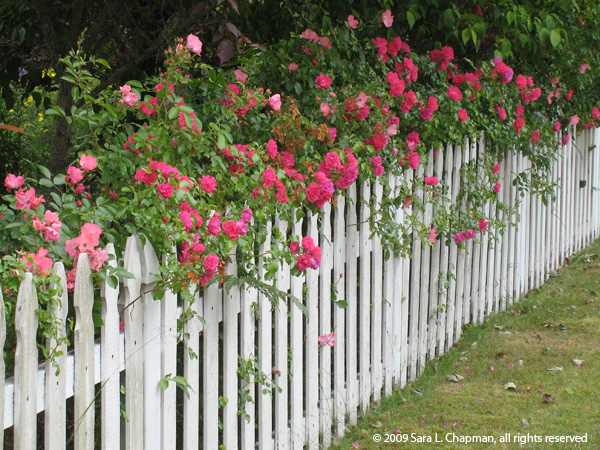 rosesfence2641
