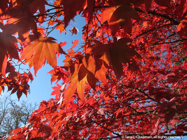 japanese maple tree, leaves, red, fall, autumn, shadows, blue sky, twigs