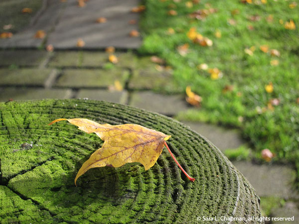 autumn, fall, mossy, tree rings, lawn, macro, red stem, path