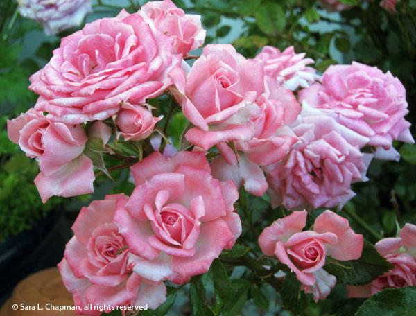 roses, floribunda, pink, spray, rosebush, hybrid tea, buds, petals, pink and white