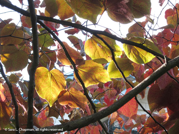 autumn, fall, leaves, tree, close up, macro, perspective, upwards, branches, twigs