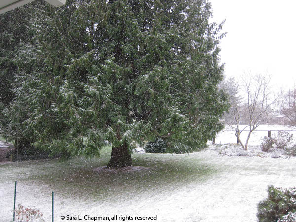 falling snow, snow, winter, trees, bare trees, cedar tree