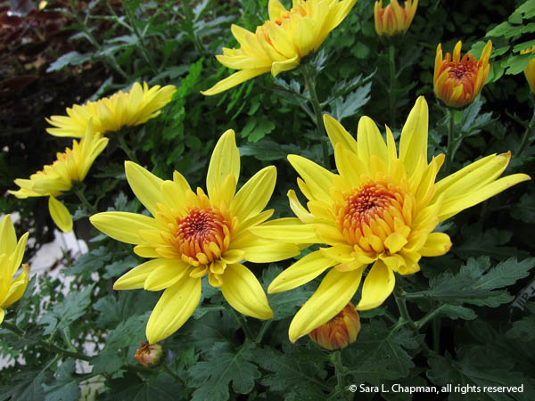 star mums, orange centers, yellow chrysamthemums, pretty yellow mum plant