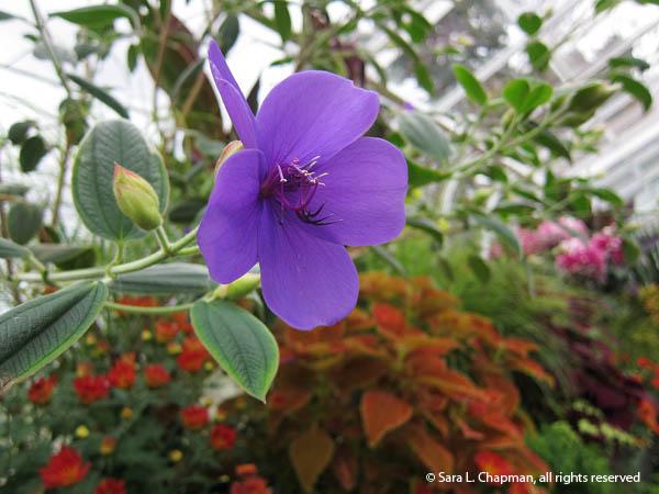 princess flower, glory bush, purple bloom, macro, close up, blossom, conservatory