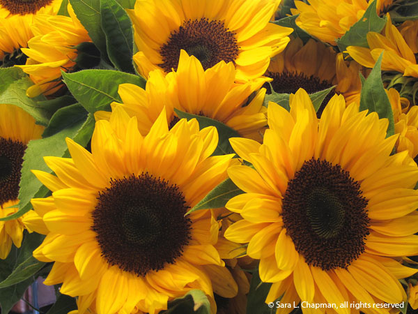 sunflowers, yellow, autumn, late summer, blooms, flowers, brown centers, yellow petals