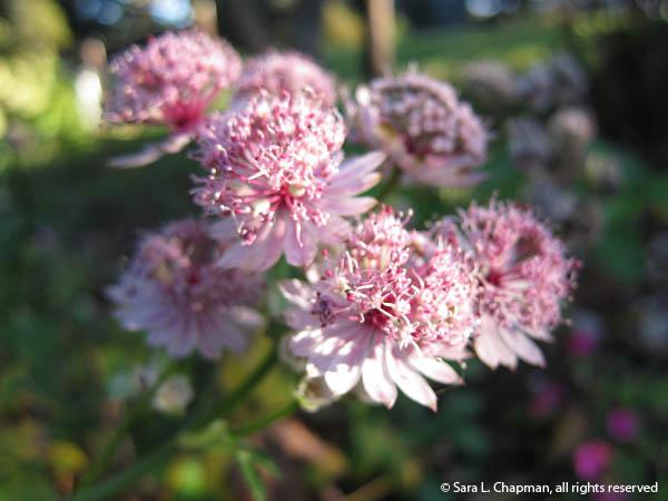 pretty pink astrantia flower, macro, bokeh, close up, bunch