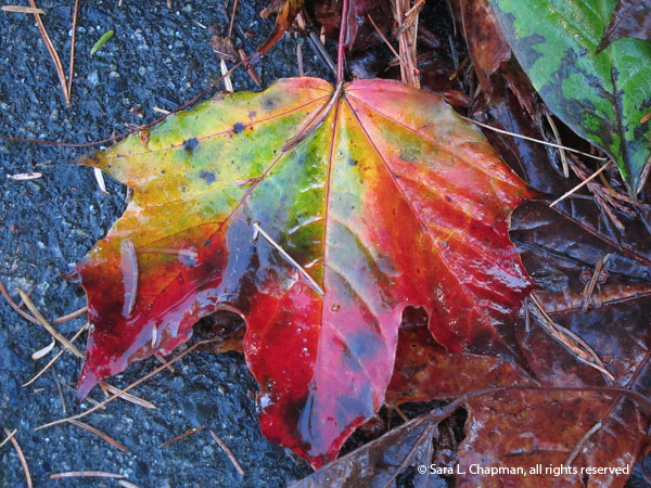 multi-colored leaf, red, yellow, green leaf, autumn, fall, wet, shiny, road