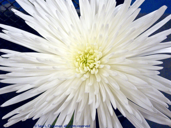 White mum saras fave photo blog chrysanthemum white macro cactus close up mum flower bloom mightylinksfo