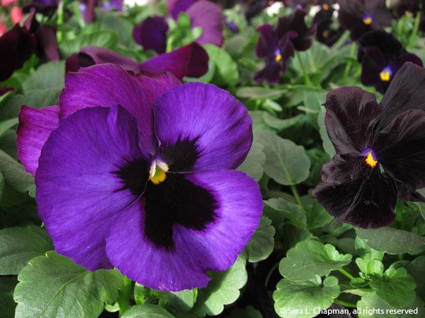 flowers, pansies, winter pansies, black flowers, close up, macro, purple flowers