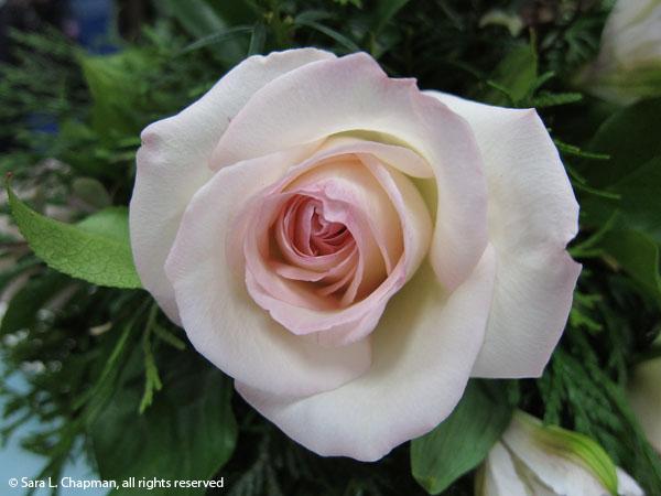 rose, full blown, pink edges, blush pink, perfect