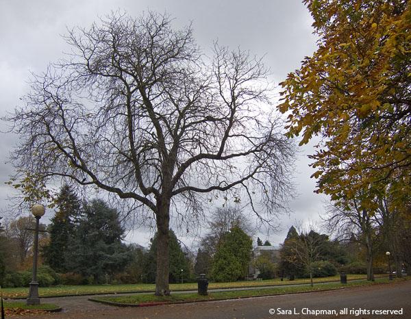 cloudy, Seattle, Volunteer Park, bare tree, autumn, yellow leaves, fall, park, dark skies, rain