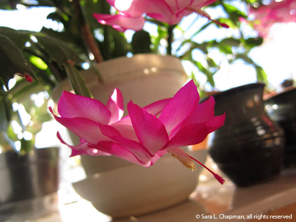 Xmas cactus, dappled sunlight, shadows, bowl, magenta and white, macro, pink and white