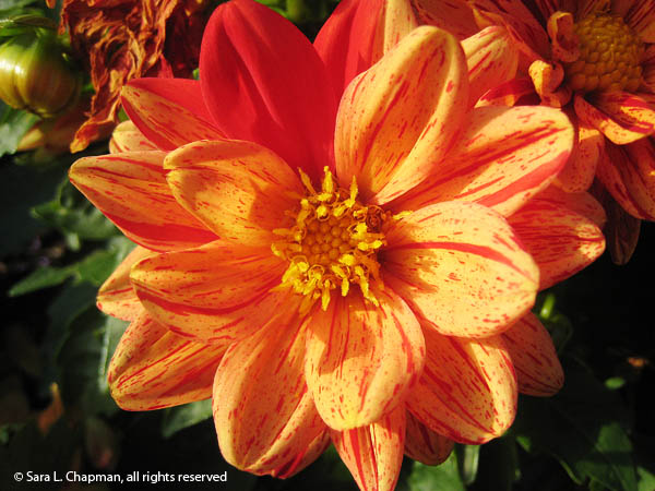 striated orange and red annual dahlia flower with yellow center