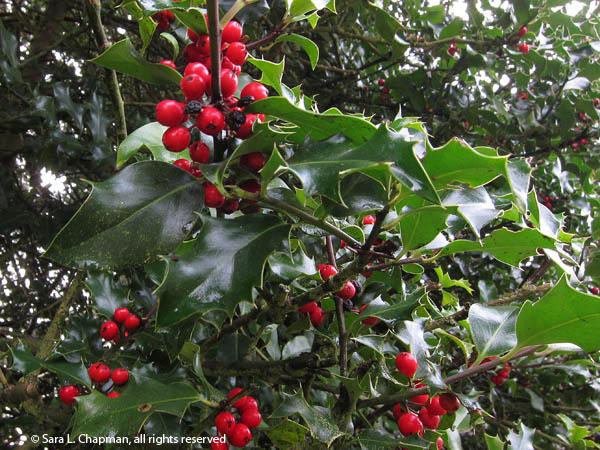 red, spiky, holly leaves, wreath, berries, broadleaf evergreen