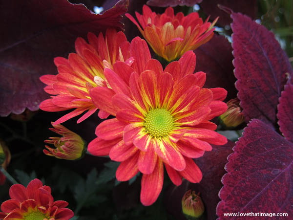 chrysanthemum, hot house, coleus, buds, yellow center, red petals, starburst