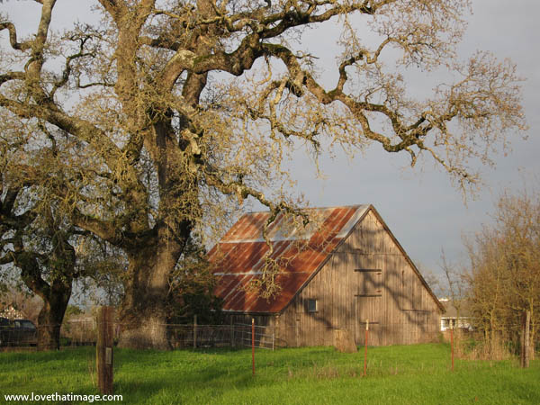 rural, agricultural, red roof, bare branches, farm, green grass, california, live oak, huge tree