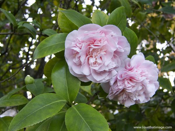 Pink camellia flowers saras fave photo blog pink camellia flowers mightylinksfo