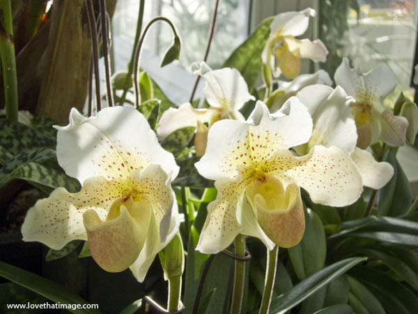 spotted orchid, white and yellow orchid, conservatory display, sun and shadows, ladyslipper