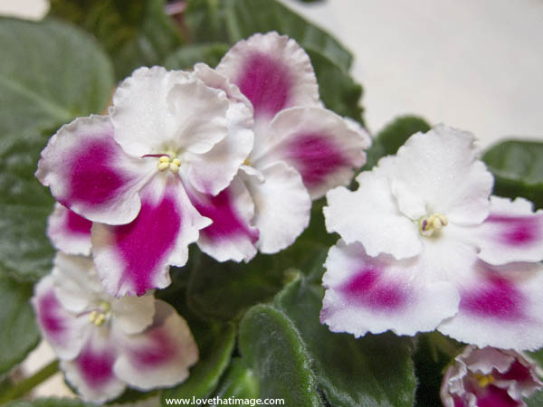 houseplant, flowering houseplant, indoor violets, magenta and white, blooms, blossoms, flowers