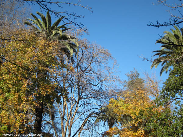 branches, palm tree, bare branches, winter, autumn, blue sky, california, wine country, sonoma county