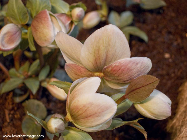lenten rose, helleborus, back of flower, pink and white, close up, macro