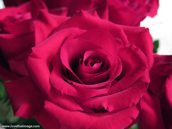 full blown rose, open rose, macro, close up, florist rose, center, petals
