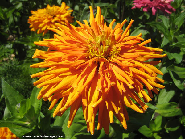 macro, hybrid orange zinnia, cactus type, curved under petals, yellow center