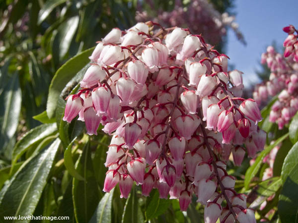 pink pieris, pink delight, pink japonica, pink andromeda, fragrant flowering shrub
