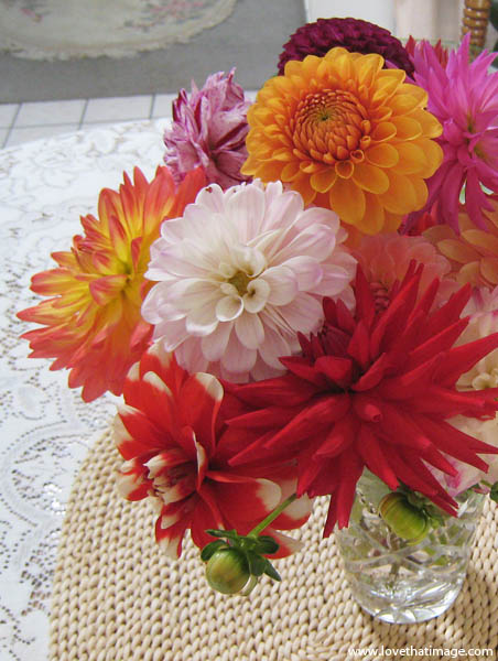 dahlias, summer flowers, lace, red cactus dahlia, sunburst orange