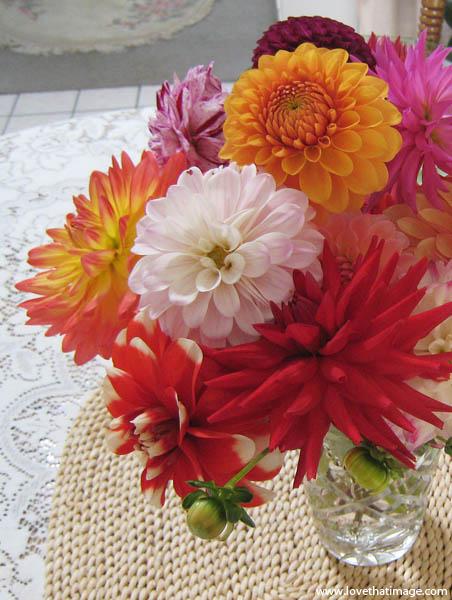dahlias, summer flowers, lace, red cactus dahlia, sunburst orange