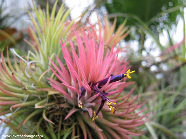 epiphytic bromeliad, pink bracts, purple and yellow true flower, macro