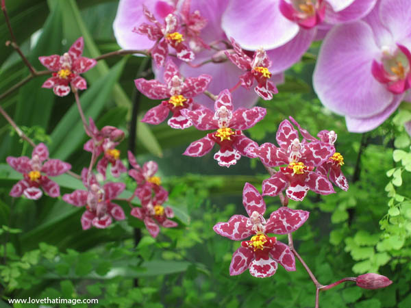 tiny spotted pink orchid flowers with yellow centers